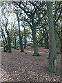 SJ5255 : Sweet Chestnuts on Bulkeley Hill by Eirian Evans