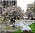SJ8990 : Weeping Silver Pear Trees at St Mary's by Gerald England