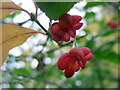 ST5574 : Spindle berries in Leigh Woods by ceridwen