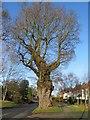 SP3076 : Oak, Cannon Hill Road by E Gammie
