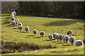 SJ3201 : A crocodile of sheep : Week 49