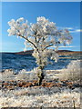 NC4307 : Frosty tree, Glencassley by sylvia duckworth
