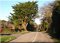 SW7728 : Monterey Cypress (Cupressus macrocarpa) in Grove Hill by Rod Allday