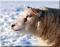 SJ3301 : Day dreaming sheep : Week 1