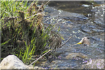 M9942 : Grey Wagtail on the Cross River at Bealnamulla by Clive Darling