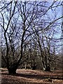 SU9693 : Coppiced beech trees, Hodgemoor Wood by Tim Harrison