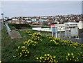 TQ3801 : Daffodils near Saltdean Lido by Paul Gillett