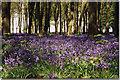 SU2694 : Bluebell woods, Badbury Hill by Brian Robert Marshall