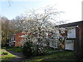 SU4016 : Prunus avium 'Plena', off Oakwood Drive by Alex McGregor