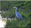 TL9733 : Heron Evening Fishing on the Stour at Nayland : Week 16