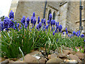 SP9658 : Grape Hyacinths at All Saints Church, Odell by Cameraman