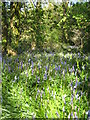 SW5931 : Bluebell woods at Godolphin House by Rod Allday