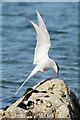 HP5604 : Arctic Tern (Sterna paradisea), Lund : Week 20