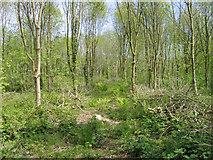 T0116 : Ash plantation on Johnstown Castle farm, Co. Wexford by Rodney Burton