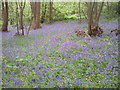 TQ4878 : Bluebells in Lesnes Abbey Woods by Marathon