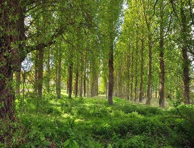 SK9230 : Poplar plantation beside the Witham - Great Ponton by Mick Lobb