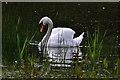 TL2066 : Mute Swan - Stirtloe by Mick Lobb