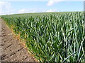TM3370 : Wheat Crop at Moat Farm by Adrian Cable