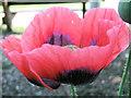 SJ7965 : Flower of the Opium Poppy by Seo Mise