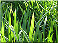 SP2266 : Reed Sweet Grass, detail by Robin Stott