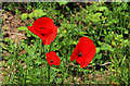 J2257 : Wild poppies near Hillsborough : Week 26