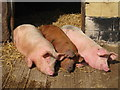 TQ9534 : Three Not-So-Little Pigs by Oast House Archive