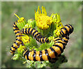 SJ7965 : Caterpillars of the Cinnabar Moth by Jonathan Kington
