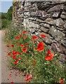 SX8353 : Poppies, Capton : Week 26