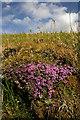 NT5314 : Wild Thyme (Thymus serpyllum) : Week 27
