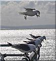 SS6387 : Kittiwakes - Mumbles Pier : Week 29