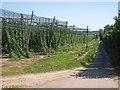 TR2658 : Hop Fields along Pedding Lane by Oast House Archive