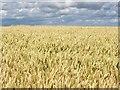 ST9524 : Wheat field, Ansty Down : Week 29