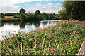 SK5536 : A dense patch of Himalayan Balsam by the Trent by David Lally