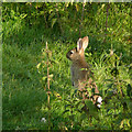 SN7553 : Rabbit in the upper Doethie Valley by Roger  Kidd