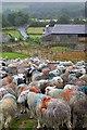 NY2806 : Sheep at Middle Fell Farm : Week 31
