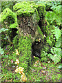 SJ7965 : Mossy stump by Seo Mise