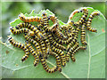 SJ8065 : Caterpillars of the Buff-tip Moth by Jonathan Kington