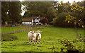 SP9804 : Charolais cows by Tom Presland