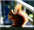 TQ3643 : Red Squirrel at the British Wildlife Centre, Newchapel, Surrey  by Peter Trimming