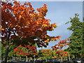 SX8966 : Autumn colours, The Willows : Week 39