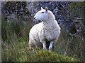H6388 : Sheep, Ligatraght : Week 40
