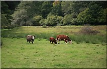 SX0172 : Cattle in the field nr Higham Mill by roger geach