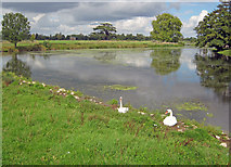 SO8844 : Swans at Croome Park by Trevor Rickard