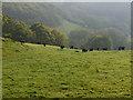 SN7096 : Cattle above Cymerau by Nigel Brown