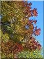 SX9164 : Maple, Trematon Avenue : Week 42