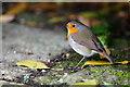 SZ0387 : Brownsea Island Robin : Week 43