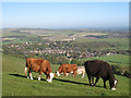 TQ3907 : Cows on South Downs by Oast House Archive