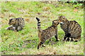 TQ3643 : Scottish Wildcats at the British Wildlife Centre, Newchapel, Surrey by Peter Trimming