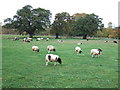 TF1600 : Sheep near New Park Farm, Bretton, Peterborough by Richard Humphrey