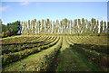 TQ8563 : Shelterbelt beyond a fruit orchard by N Chadwick